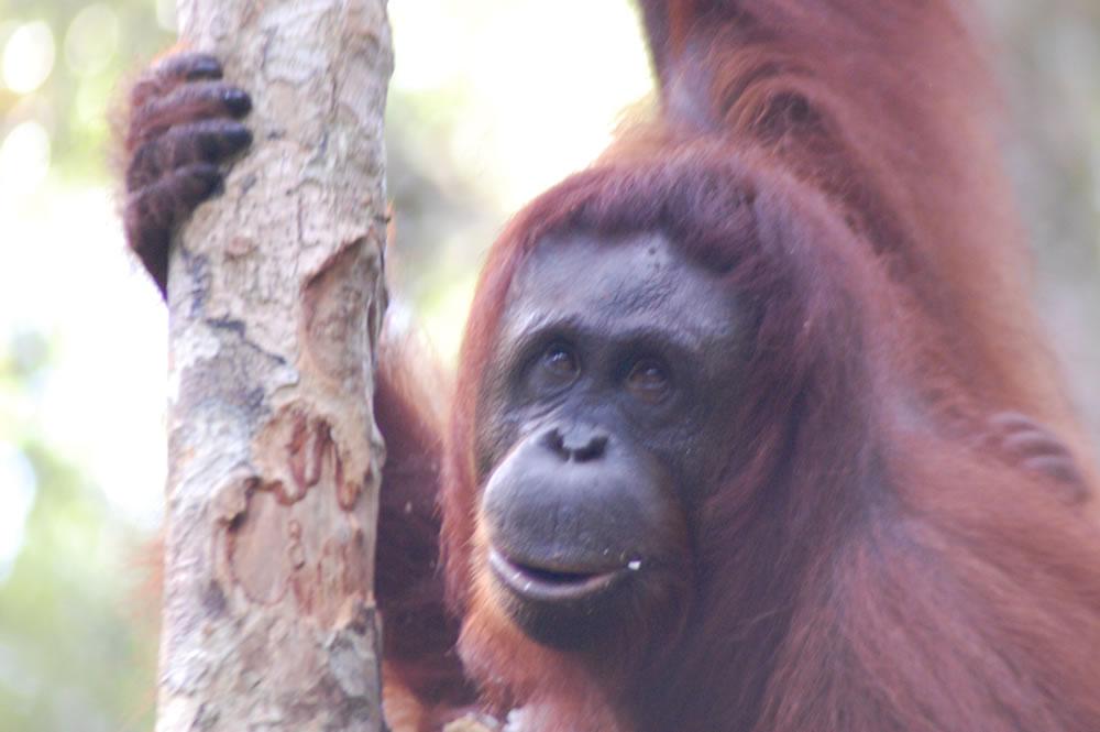 WWF_Orangutan